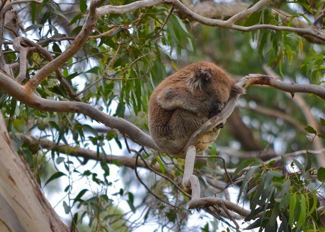 Cape Otway Lighthouse koalas