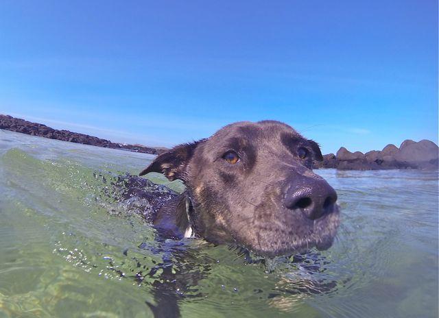 Port Fairy rockpool Neddy swimming
