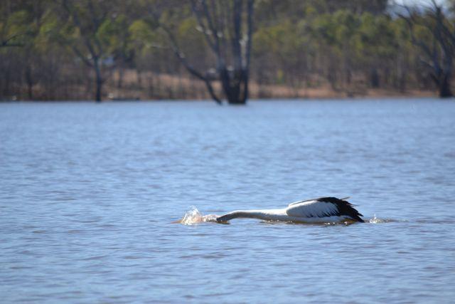 Glendinning Campground pelican