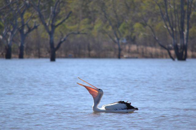 Rocklands Reservoir pelican