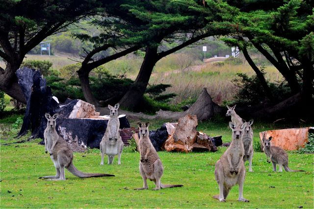 Kangaroos at Princetown Recreation Reserve