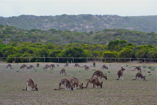 Princetown Recreation Reserve - kangaroos
