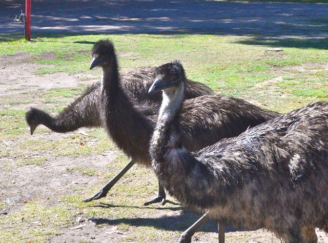 Grampians Garden Tourist Park emus