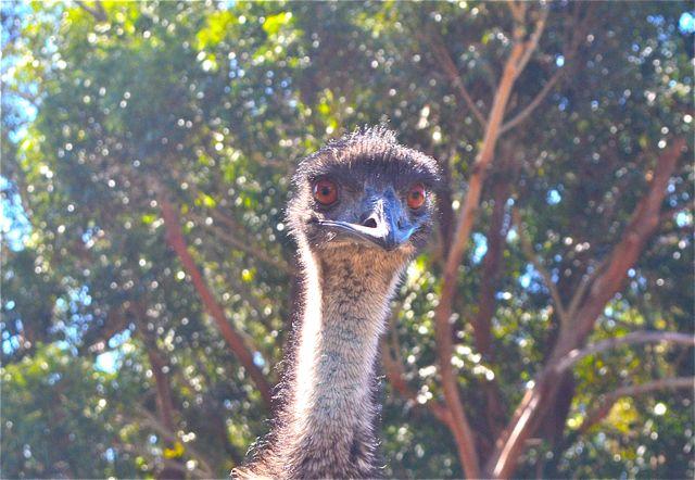 Halls Gap emu