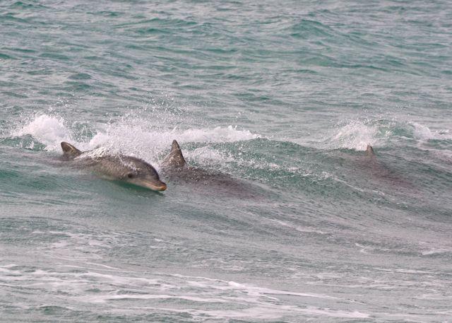 Yorke Peninsula dolphins