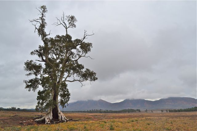 The Cazneaux Tree: a river red gum