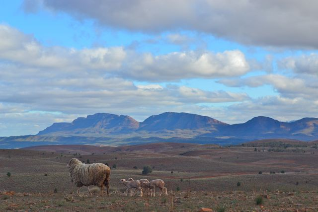 Sheeps at Sttokes Lookout