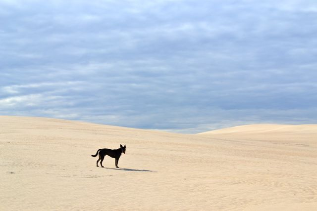 eyre-peninsula-west-coast-point-drummond-dunes-dog-neddy